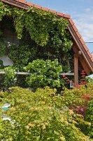 Berankte Hausfassade, davor Ahornbäume