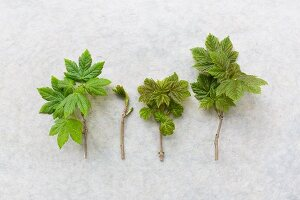 Branch tips of maple with young leaves on pale surface