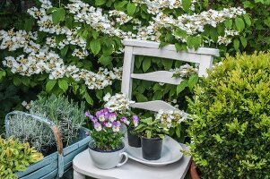 Herbs and violas on white chair in front of Viburnum plicatum in garden
