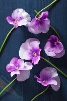 Violas on blue wooden surface