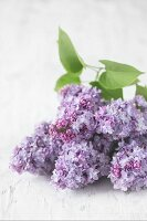 Purple lilac flowers on a white surface