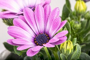 Purple Cape daisy covered in droplets of water