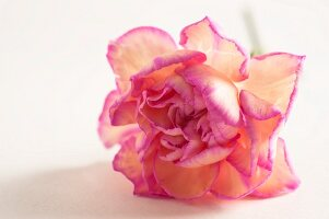 Pale yellow rose with pink petal edges