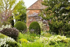 Flowering herbaceous borders, topiary shrubs and trees in front of wisteria-covered house facade