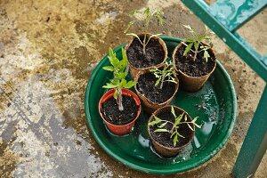 New seedlings in flowerpots on planter saucer
