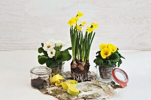 Preserving jars used as decorative pots for flowering spring plants