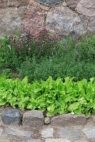 Lettuce and herbs in garden