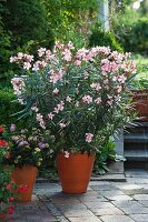 Potted oleander (Nerium oleander 'Madame Leon Blum') on terrace