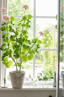 Pink-flowering geranium on sill of lattice window