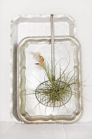 Flowering tillandsia in old mesh spoon hanging on silver trays