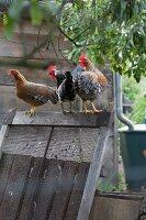 Hühner auf Holzrahmen im Bauerngarten