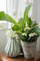 White African violet (Streptocarpus) and Flaming Katy (Calandiva) in planters