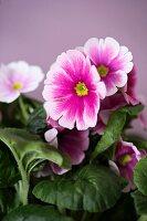 Pink German primrose (close-up)