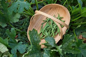Freshly picked green beans in chip wood trug next to courgette plant in garden