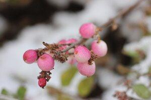 Rosa gefärbte Schneebeeren am Zweig