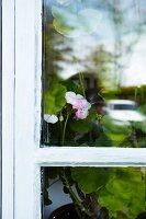 Pink geranium flower seen through lattice window
