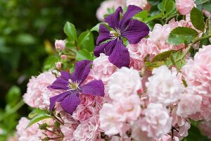 Purple clematis and pink climbing rose in garden