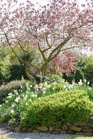 Flowering magnolia and stone wall in spring garden