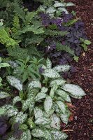 Plants with variegated and colourful leaves in bed of chipped bark mulch