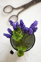 Grape hyacinths in enamel cup