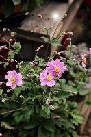 Japanese anemones in front of potting table