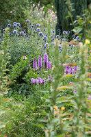 Blazing star and blue globe thistles in summer garden