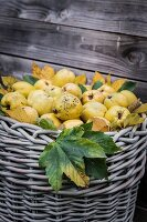 Old basket full of quinces