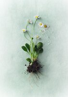 Daisies with soil and roots