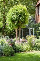 Tree with clipped round crown in idyllic summer garden