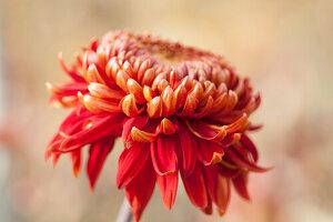 Close-up of red chrysanthemum