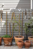 Olive trees planted in terracotta pots below gardening utensils hung on pale grey wooden wall