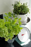 Basil plant next to thyme in white pot on vintage-style kitchen scales