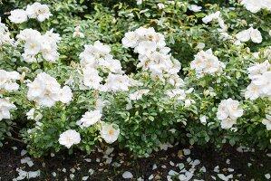 White-flowering roses in garden