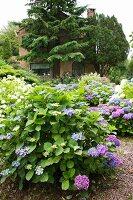 Hydrangeas of various colours in summery garden