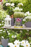 White cosmea and herbs in grey in grey terracotta pots on a terrace