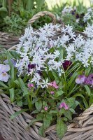 Star-of-Bethlehem, forget-me-nots and violas planted in wicker basket