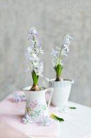 Flowering squill bulbs planted in old milk jugs