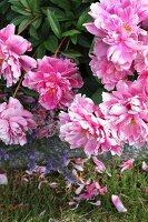 Pink-flowering peonies