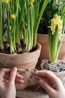 Narcissus and yellow hyacinth in terracotta pots: hands tying cord bow around pot