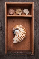 Collection of seashells in wooden box