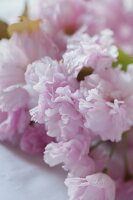 Pink cherry blossoms on white tablecloth