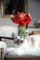 Cat lying on fur rug in front of vase of amaryllis