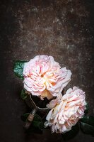 Two double roses against dark background