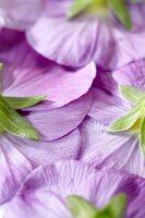 Unterseite von violetten Stiefmütterchenblüten (bildfüllend)