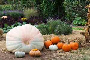 Various pumpkins arranged in garden