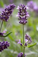 Lavender flowers outside