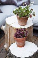 Flowering oxalis in terracotta pots on tree stump stools