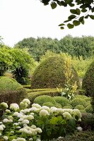 Flowering white hydrangea amongst box balls in topiary garden