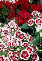 Dianthus Barbatus (Barnacle)