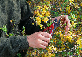 Easy pruning of forsythia after flowering